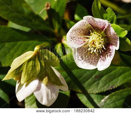 Helléborus,  white in red, brown speckles, the plant is lit by the sun, helleborus,  a plant in full bloom,  two close-up flowers