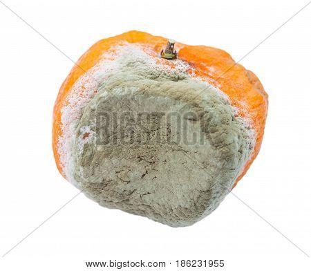 Spoiled tangerine. Mandarin mouldy organic fruit unhealthy to eat