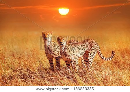 Two cheetahs in the Serengeti National Park. Synchronous position . Sunset background.