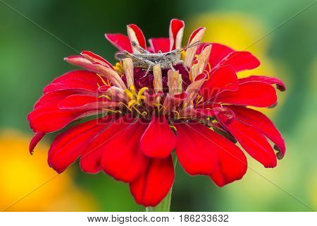Grasshopper sits on a zinnia flower on other flowers background