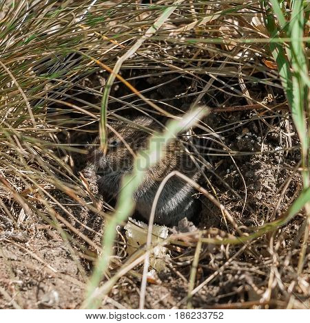 1:1 ratio photo of a common vole (Microtus arvalis) in its natural habitat