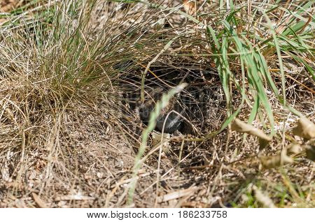 16:9 ratio photo of a common vole (Microtus arvalis) in its natural habitat