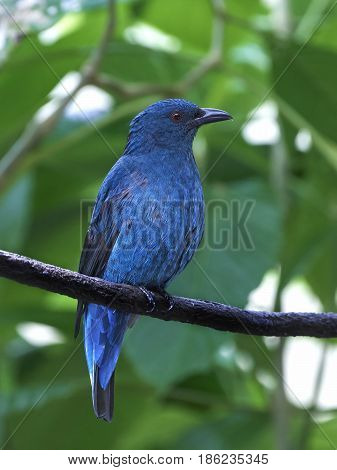 Asian fairy-bluebird resting on a branch in its habitat