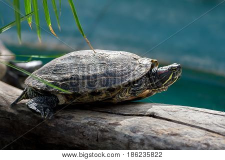 freshwater  red-bellied tortoise, profile view, sits on a thick log in the pool in the botanical garden, thin palm leaves in the top corner,  tail, head and paws with claws are visible