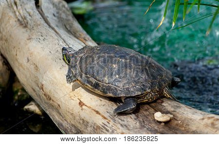 freshwater red-bellied turtle, red-bellied turtle, top and rear view, sits on a thick log in the pool in botanical garden, thin palm leaves in  upper corner,  tail, head, paws with claws are visible