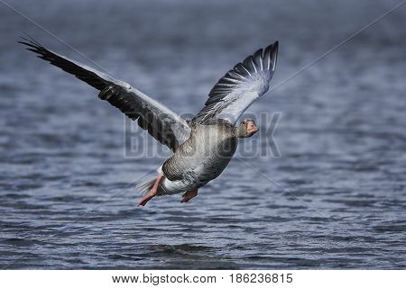 Greylag goose in flight with water in the background