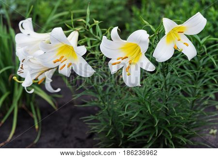 Several large flowers of beautiful white tubular lilies outdoors
