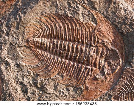 Predatory trilobite Hydrocephalus briareus from cambrian period