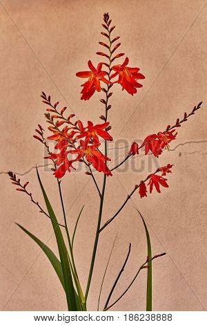 Red Lobelia Cardinal Flower