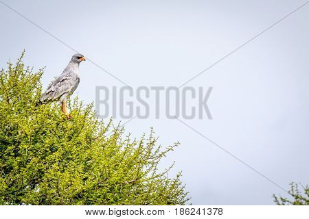Pale-chanting Goshawk In A Tree.