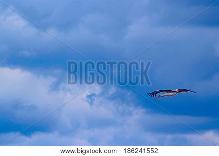 stork flies high in the blue sky. White stork flies among the white clouds