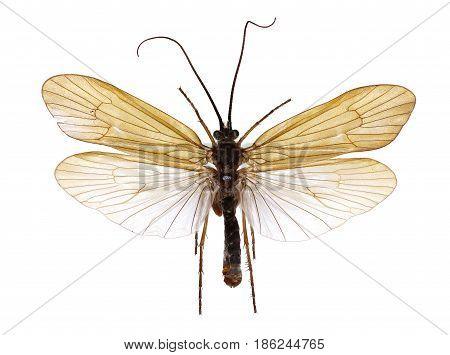 Caddisfly Allogamus on white Background - Allogamus sp.