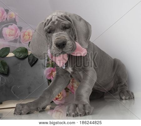 Great Dane purebred puppy with flowers and chalkboard