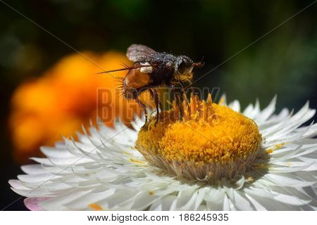 A fly a bee pollinates a flower with a lot of white petal and yellow mid snout antennae and paws of a fly in yellow glowing pollen a sunny spring day.