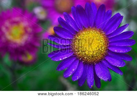 A bright purple flower with leaves on which there is little pollen and a yellow middle with a figured stamen in the background are other flowers of the garden.