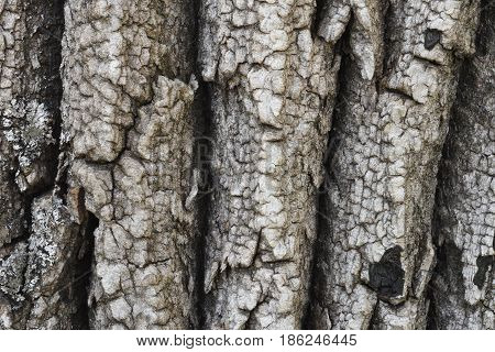 Rough texture of the bark of the tree is dark gray to black with vertical furrows.