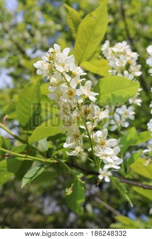 Common bird cherry (Prunus padus), wild Cherry or wrist, or Cherry bird-- a species of small trees or shrubs of the genus Plum Pink family