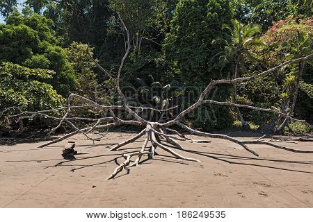 A dead tree on the beach of Drake Bay, Costa Rica
