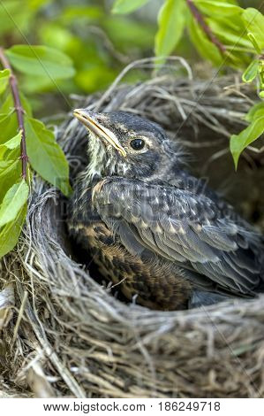 Cute young robin in the nest in a tree.
