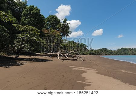 A dead tree on the beach of Drake, Costa Rica