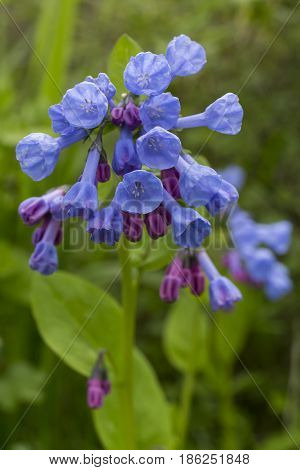 A closeup of blue bell flowers in spring.