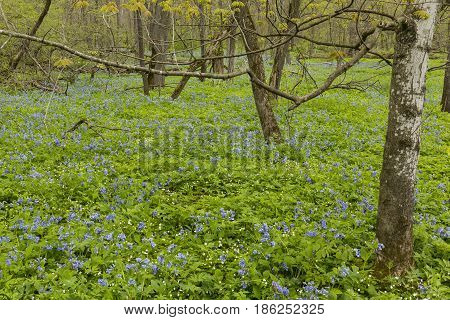Blue bell flowers covering the forest floor in spring.