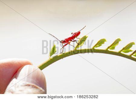 Red Young Firebug On Small Green Shoot