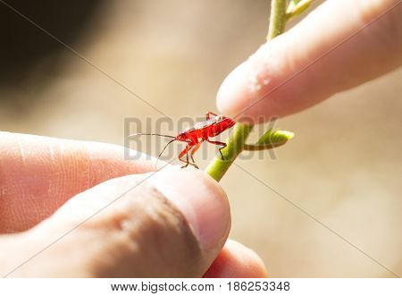 Red young firebug on green plant with human finger