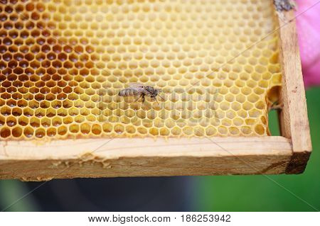 Young just born queen bee on frame with honey. Queen bee crawls on the honeycombs. Beekeeper keeps a frame with a hatched queen bee.