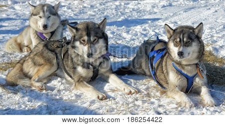 Three dogs like husky lie on the snow, rest with their heads up.