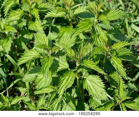 Stinging nettle urtica dioica growing on amish countryside farm