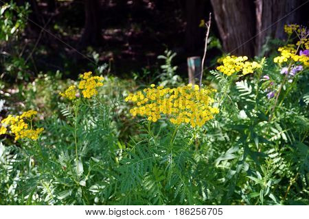 Common tansy (Tanacetum vulgare), also called  bitter buttons, cow bitter, and golden buttons, blooms in Harbor Springs, Michigan during August.
