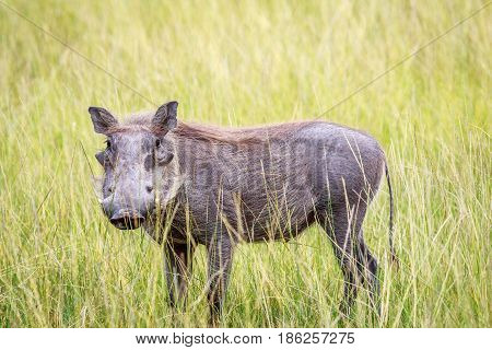 Warthog Standing In Long Grass.