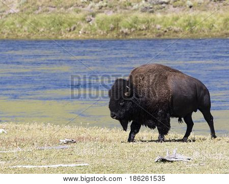 Bull Bison Wet After Leaving River From A Short Swim