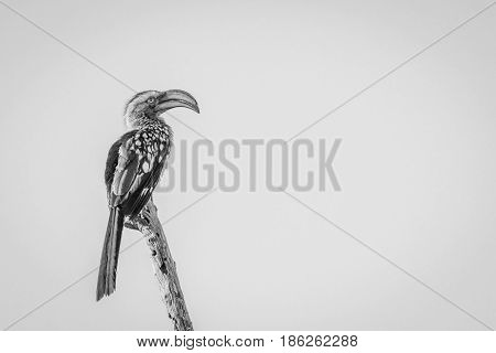 Southern Yellow-billed Hornbill On A Branch.