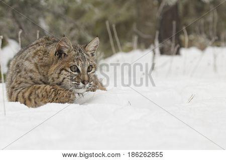 Bobcat In Deep White Snow