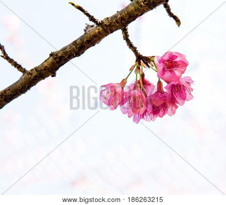 Sakura flower and Cherry bossom isolated on white