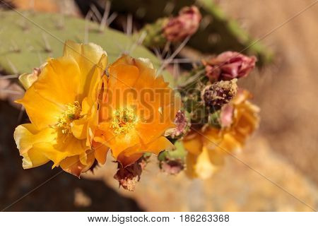 Yellow Flowers On A Coast Barrel Cactus, Ferocactus Viridescens