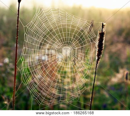 web weaved by a spider in form of a spiral on a summer meadow at sunrise. threads of a web shine in beams of morning sun