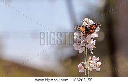 Painted lady butterfly Vanessa cardui in a butterfly garden on a flower in spring in Southern California USA