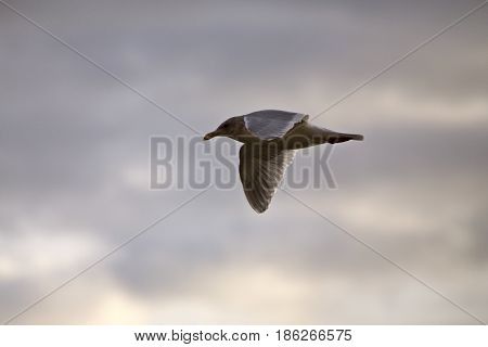Seagull in Flight in Canada cloudy sunset