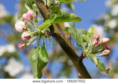 bluming apple tree on the sky background