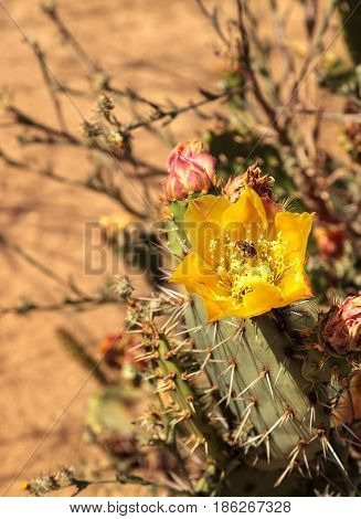Honeybee in a yellow flower Prickly pear cactus Opuntia blooms in the Sonoran Desert Arizona on a green background