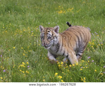 Tiger cub running in yellow flowers in springtime