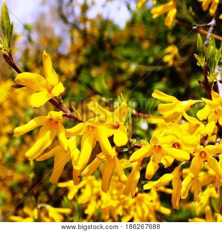 Yellow flowers of an Oriental cherry and green leaves on the background of the sky, branches of a yellow Oriental cherry