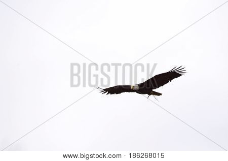 Bald Eagle British Columbia In Flight
