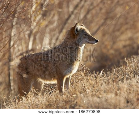 Coyote In Deep Brush At Bosque Del Apache In New Mexico, Backlight