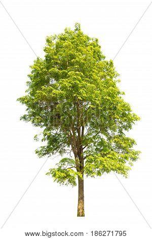 tree isolated tree on white bacground tree object.