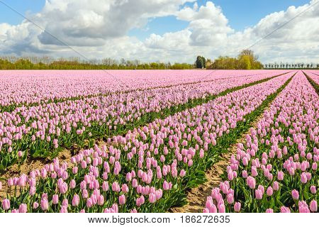 Large beds with pink flowering tulips in the field of a specialized Dutch bulbs grower at the edge of a small village. It is springtime now.