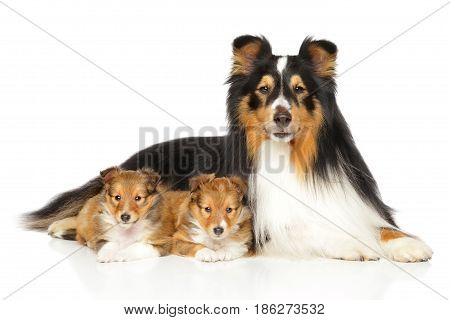 Shetland Sheepdog Puppies And Father